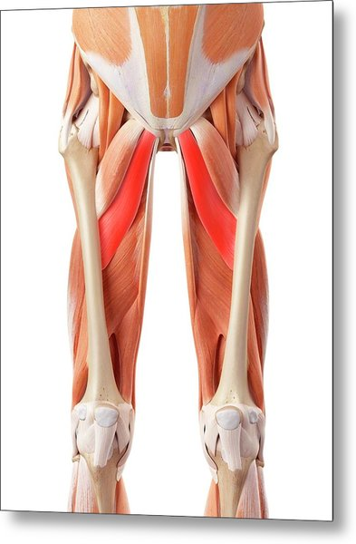 Muscular System Of Legs Metal Print by Sebastian Kaulitzki/science Photo Library