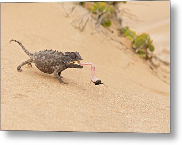 Namaqua Chameleon Catching Prey Metal Print