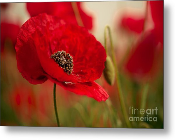 Poppy Dream Metal Print