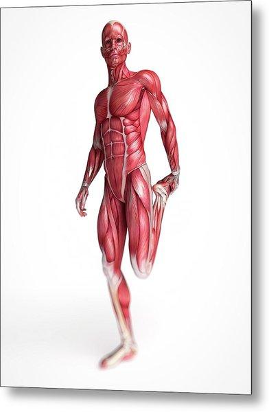 Human Muscular System Metal Print by Sebastian Kaulitzki