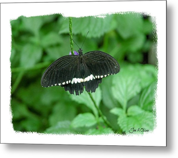 Butterflies Metal Print by Joe Oliver