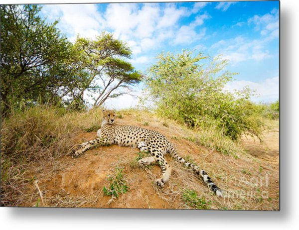 Cheetah - South Africa Metal Print by Birdimages Photography