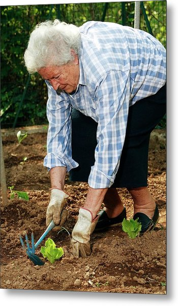 Elderly Lady Gardening Metal Print by Mauro Fermariello/science Photo Library