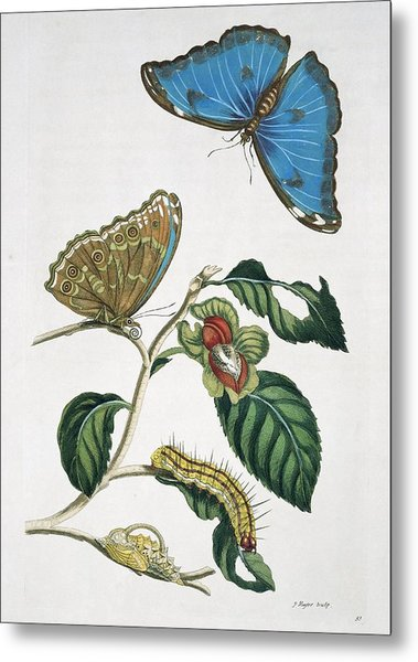 Insects Of Surinam, 18th Century Metal Print by Science Photo Library