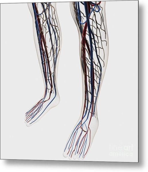 Medical Illustration Of Arteries, Veins Metal Print