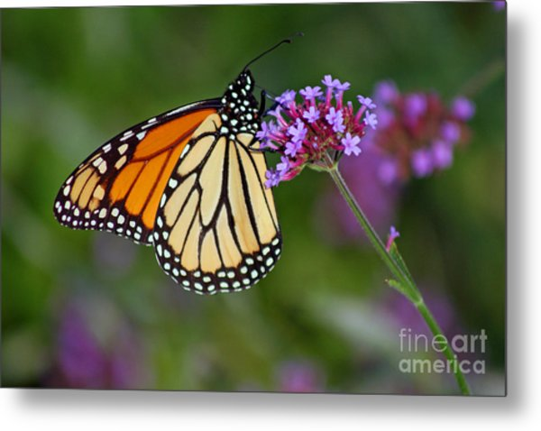 Monarch Butterfly In Garden Metal Print