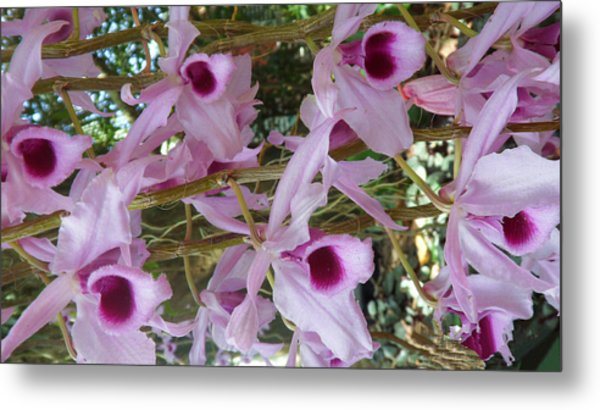 Orchids--dendrobium Metal Print