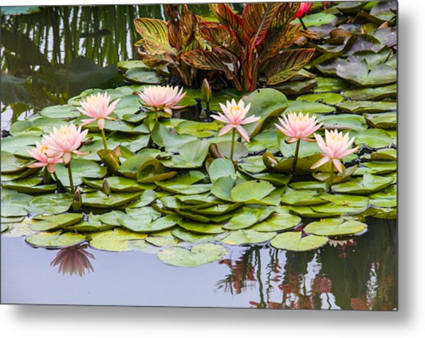 6 Pink Waterlilies Metal Print by Jill Bell