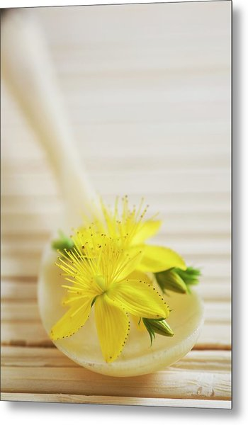St. Johns Wort (hypericum Perforatum) Metal Print by Gustoimages/science Photo Library
