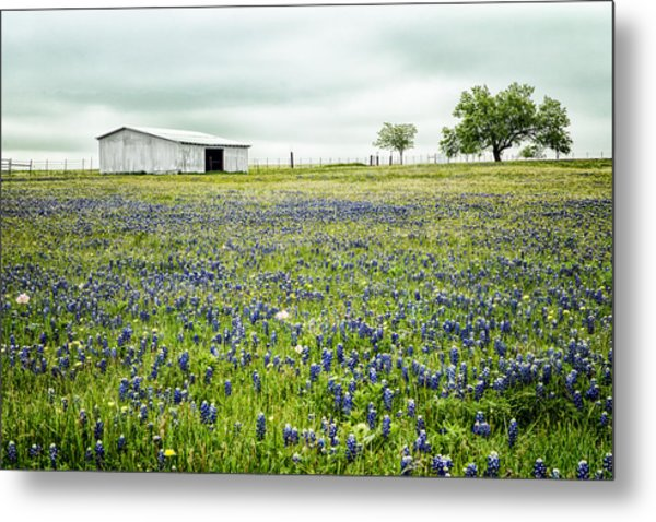 Texas Bluebonnets 6 Metal Print