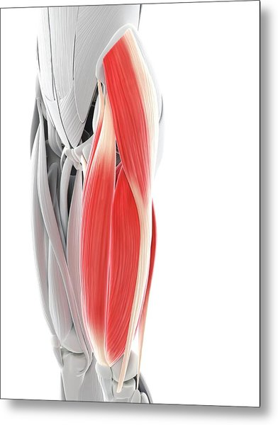 Thigh Muscles Metal Print by Sciepro/science Photo Library