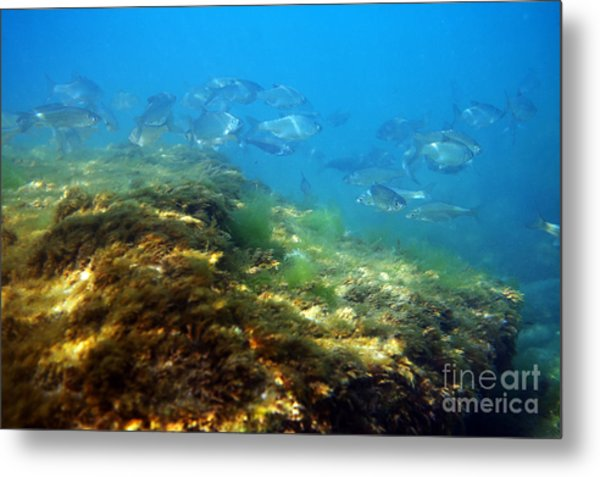 White Bream. Metal Print by Alexandr  Malyshev