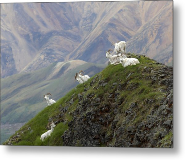 Alaskan Dall Dahl-sheep Image Art  Metal Print