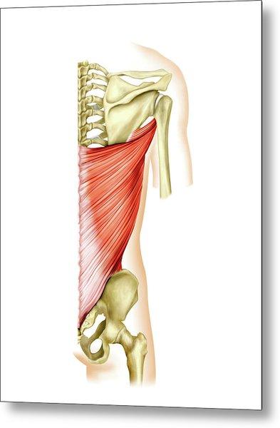 Shoulder Muscles Metal Print by Asklepios Medical Atlas