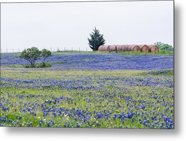 Texas Bluebonnets 5 Metal Print