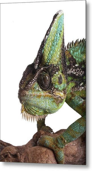 Veiled Chameleon Metal Print by Science Photo Library