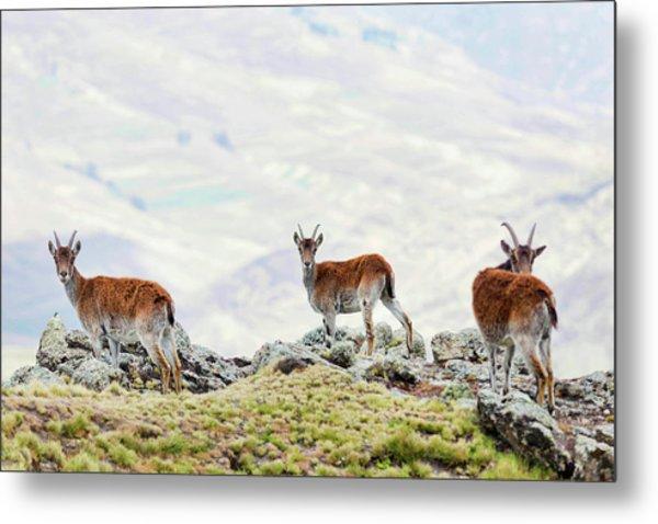 Walia Ibex (capra Walie Metal Print