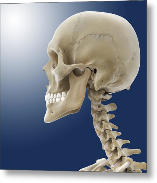 Human Skull, Artwork Metal Print by Science Photo Library