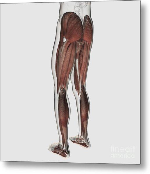 Male Muscle Anatomy Of The Human Legs Metal Print