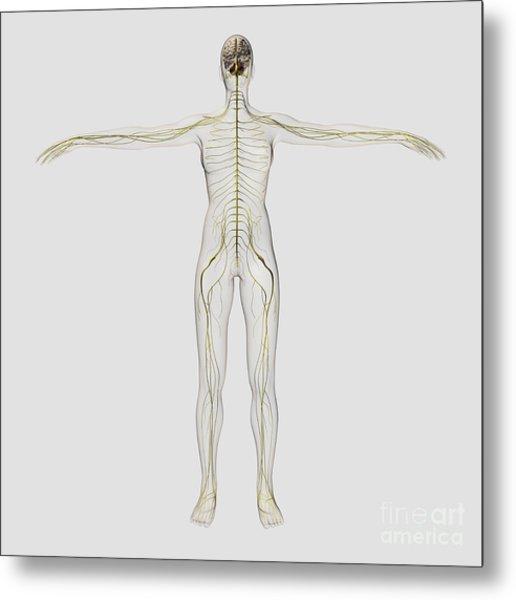 Medical Illustration Of The Human Metal Print