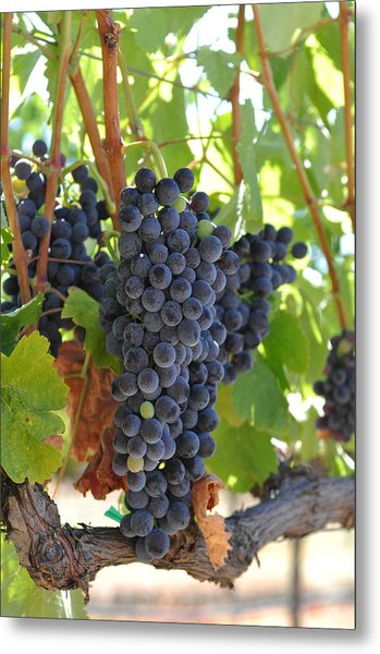Red Grapes On The Vine Metal Print