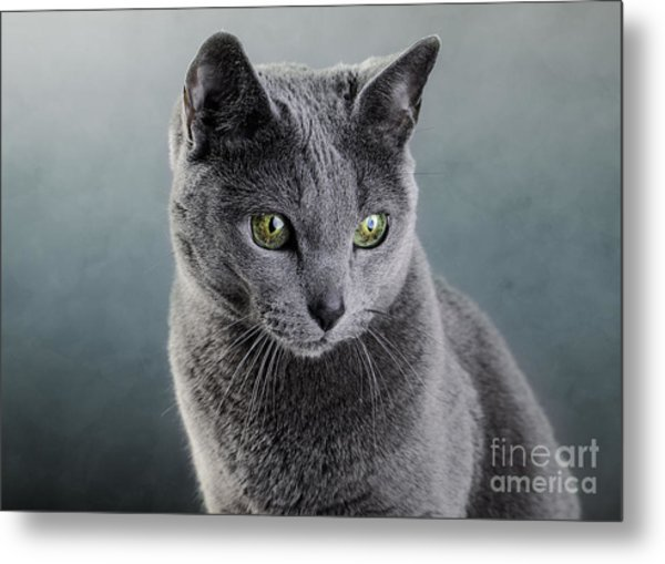Russian Blue Cat Metal Print