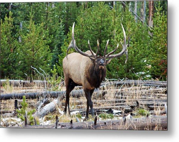 856p Bull Elk Metal Print