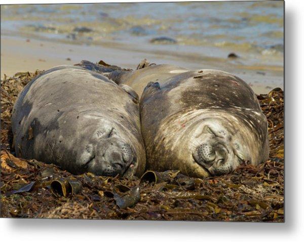 Falkland Islands, Carcass Island Metal Print