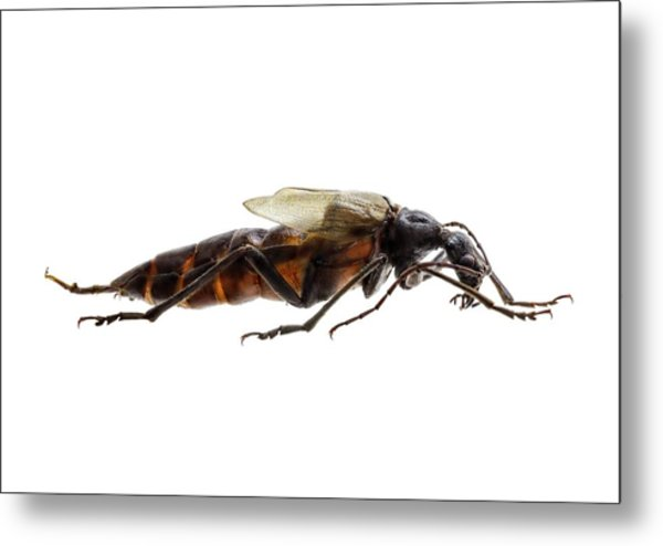 Longhorn Beetle Metal Print by F. Martinez Clavel