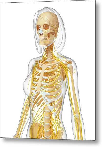 Female Anatomy Metal Print by Pixologicstudio/science Photo Library