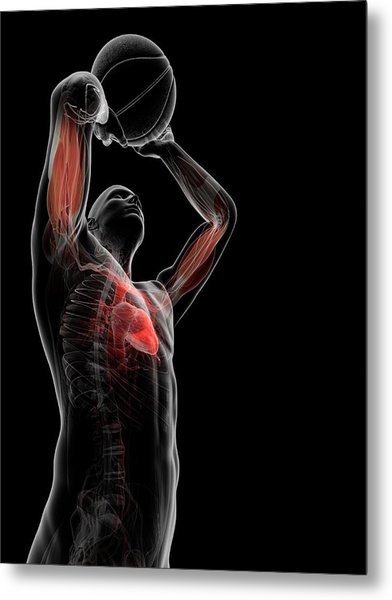 Male Anatomy Metal Print by Sciepro/science Photo Library