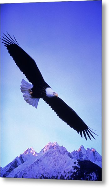 A Bald Eagle Flies Over Alaskas Chilkat Metal Print