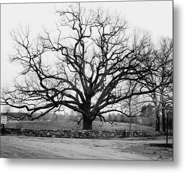 A Bare Oak Tree Metal Print