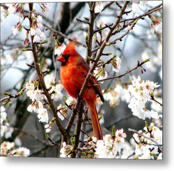 A Cardinal In The Apple Blossoms Metal Print