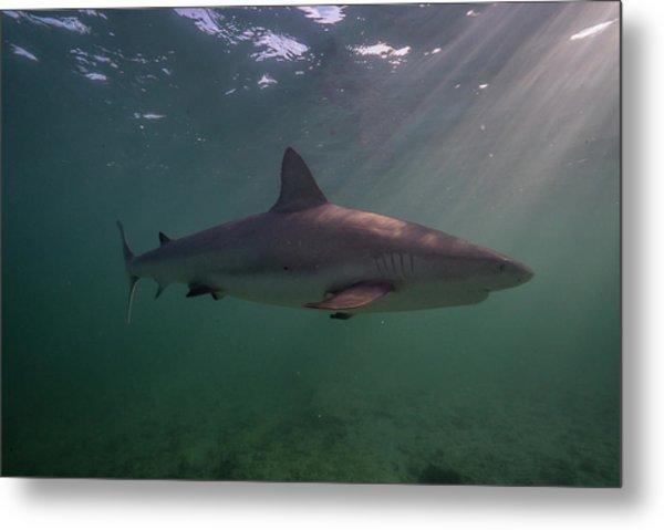A Carribbean Reef Shark Swims Metal Print