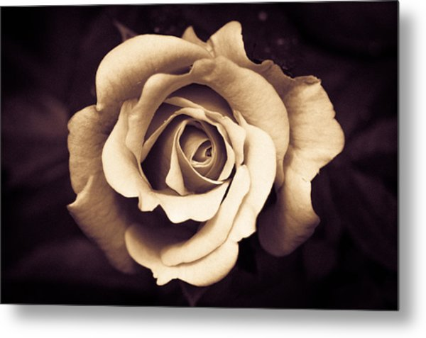A Chocolate Raspberry Rose Metal Print