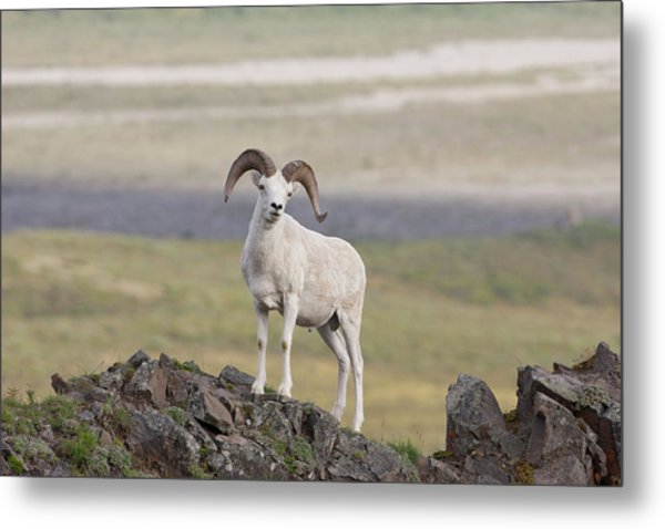 A Dall Sheep Ram Poses On Marmot Rock Metal Print by Hugh Rose