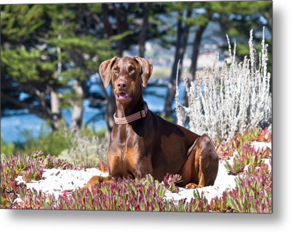 A Doberman Pinscher Lying In The White Metal Print