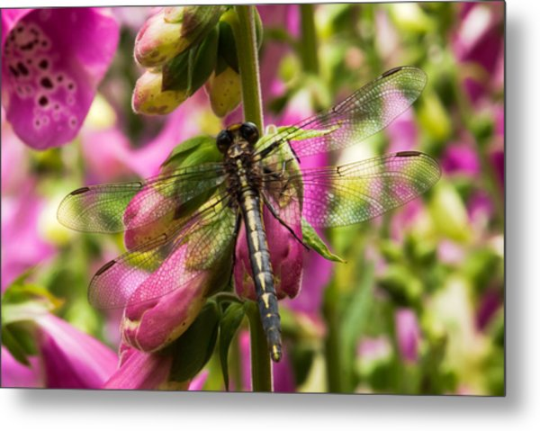 A Dragon Fly Resting In A Forest Of Foxgloves Metal Print by Thomas Pettengill