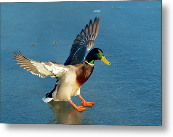 A Drake Lands On An Icy Pond Metal Print by Richard Wright