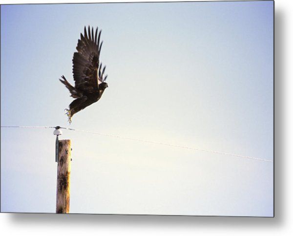 A Falcon Takes To The Air Metal Print