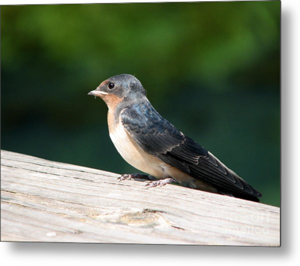 A Female Purple Martin Is Watching You Metal Print