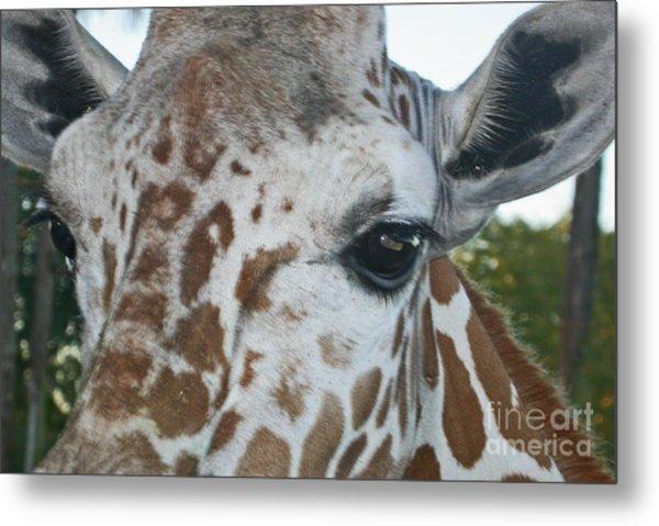 A Giraffe In Close Up Metal Print
