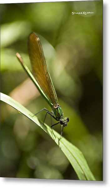 Metal Print featuring the photograph A Green Dragonfly by Stwayne Keubrick