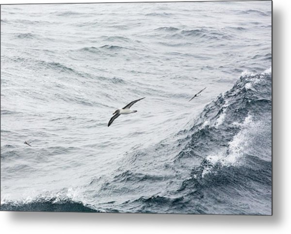 A Grey Headed Albatross Metal Print