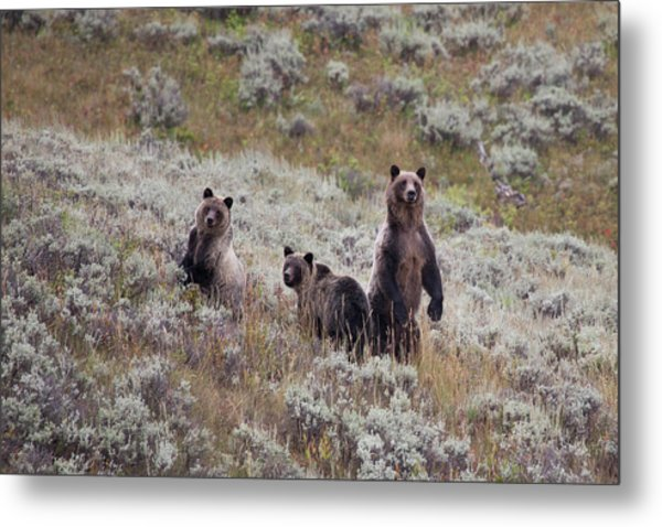 A Grizzly Bear With Its Two Cubs Metal Print
