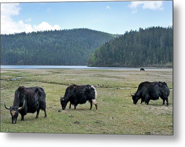 A Herd Of Yaks In Potatso National Park Metal Print