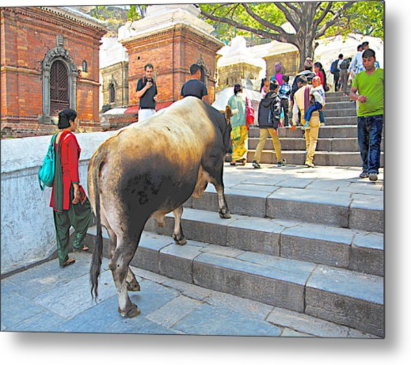 A Holy Cow Climbing Steps From Bagmati River In Kathmandu-nepal  Metal Print