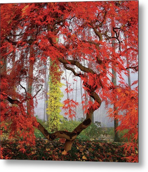 A Japanese Maple Tree Metal Print by Richard Felber