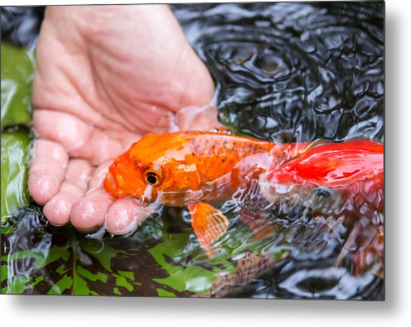 A Koi In The Hand Metal Print